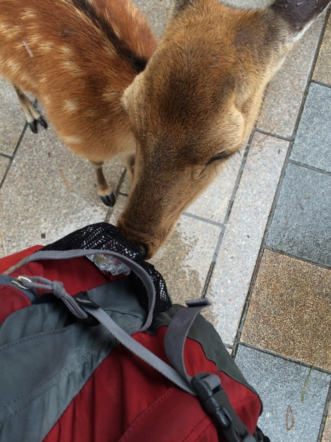 Sniffing for food outside of the Todai-jiof