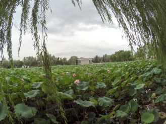 Field of lotus in Sand Lake